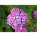 hortensia britany flower macro color