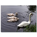 netherlands sgraveland animal swan water nethx sgrax animx swanx waten