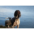 Dog Water Springer Spaniel
