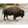 Yellowstone Bison wife won photo contest with this photo