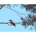 bird kookaburra rest neighbour home perth littleollie