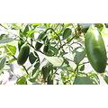 tai hot peppers green plant