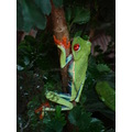 frog costa rica sapo plantas three costarica green leaves