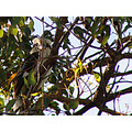 bird kookaburra tree looking perth hills littleollie