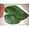 Red Mulberry big leave