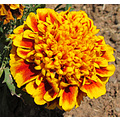 I didn't know the petals on this marigold were frilly till I saw this full size!