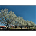stlouis missouri usa spring tree blossom white light perspective 033111