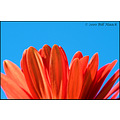 stlouis missouri us flower macro daisy gerbera orange sky blue 052810