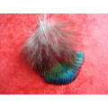 feather peacocks peafowl