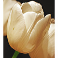 white tulips flowers
