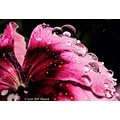stlouis missouri us usa plant flower macro water drops reflection 050510