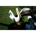 pelican bird zoo