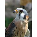 bird kestral nature