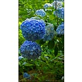 Hydrangea blue blooms flowers nature