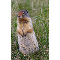 Columbian Ground Squirrel nature canada