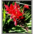 crocosmia flower