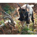 feral goats valley of the rocks lynton devon