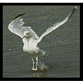 nature bird gull herringgull feathers