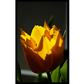nature flower tulip yellow green closeup