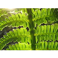 sunset fern macro