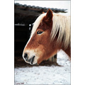 horse portrait winter outdoor