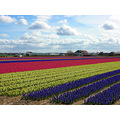flowerfields lisse holland netherlands