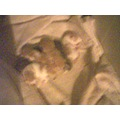 tokey cat kittens photo