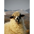 sheep look portrait animal