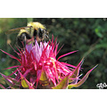 Bee on Thistle I am no bug expert, butit appears she is using her antennae to hold on to that th...