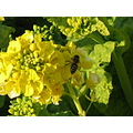 rape blossoms and honeybee my town