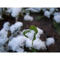 winter clover