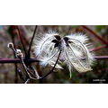 Wildflower seedhead seed flower nature