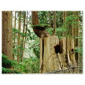 nature cedar stump forest