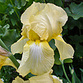 beardediris iris yellow yellowfph dirtgirl