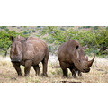 Rhinos Lewa Kenya Wildlife Conservancy Animals
