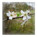 spring flower tree amelanchier