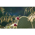 prickly pear cactus provence france
