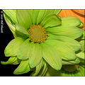 stlouis missouri us usa plant flower macro daisy orange lime pastel 021110