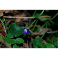 nature forest park wild violet bulgaria lovech