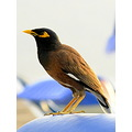 thailand birds Common Myna