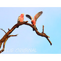birds australia galah high tree perth hills littleollie