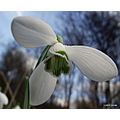 Snowdrop wildflower flower nature plants macro
