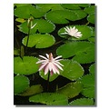 malaysia penang georgetown flora flower waterlily malax penax georx flowx florx