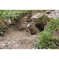 marmot Ischgl Austria Heidelberger Htte Switzerland nature animal