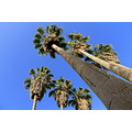 washingtonia palm tree blue sky hallo