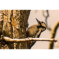 woodpecker greater spotted wildlife bird