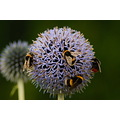 Lunch Insects Bumblebee Bees Macro Plant Nature