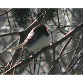 junco bird wildlife nature
