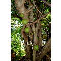zuiderdam cruise willemstad curacao fruit tree