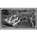 wolves animals bw